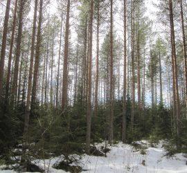 Potentiaalia jatkuvaan kasvatukseen: kuusialuskasvostosta uusi metsä.